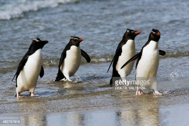 Southern rockhopper penguins getting out of the water Spheniscidae The Neck north coast of Saunders Island Falkland or Malvinas Islands