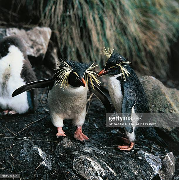 Southern rockhopper penguins , Spheniscidae, French Southern and Antarctic Lands.