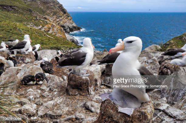 southern rockhopper penquins amongst black browed albatross on westpoint island falkland islands. - albatros stock-fotos und bilder