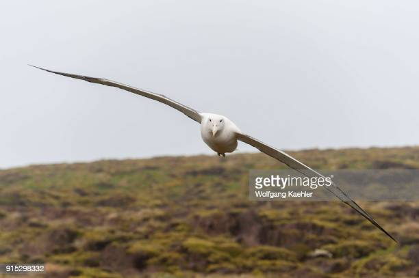 A southern royal albatross flying in for landing on Enderby Island a subAntarctic Island in the Auckland Island group New Zealand