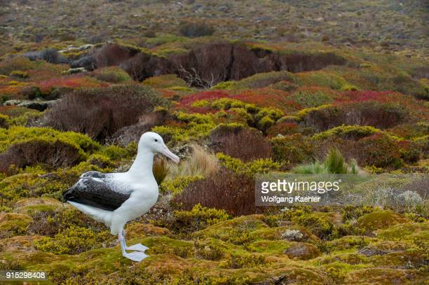 A southern royal albatross on Enderby Island a subAntarctic Island in the Auckland Island group New Zealand