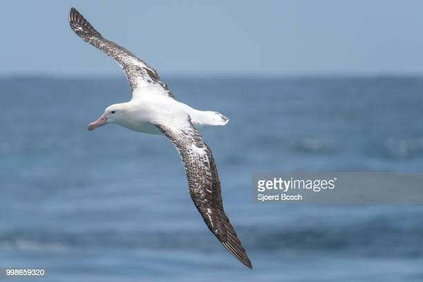 southern royal albatross - albatross stock pictures, royalty-free photos & images
