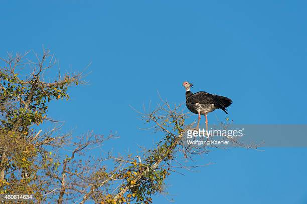 Southern screamer perched in a tree along the Cuiaba River near Porto Jofre in the northern Pantanal, Mato Grosso province in Brazil.