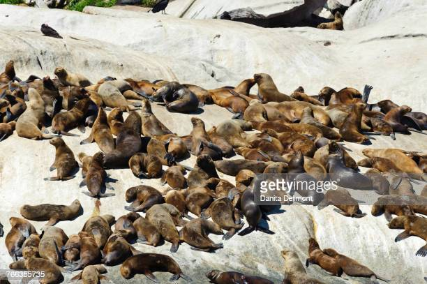 Southern Sea lion (Otaria flavescens) at haul-out, Lake District, Patagonia, Chile