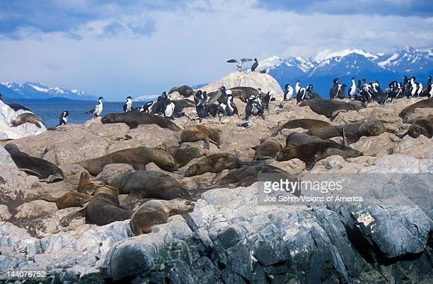 Southern sea lions and cormorants on rocks near Beagle Channel and Bridges Islands, Ushuaia, southern Argentina