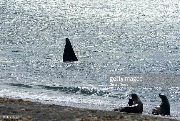 Southern sea lions (Otaria flavescens) watching Killer whale (Orcinus orca) fin, Patagonia, Argentina, Atlantic Ocean