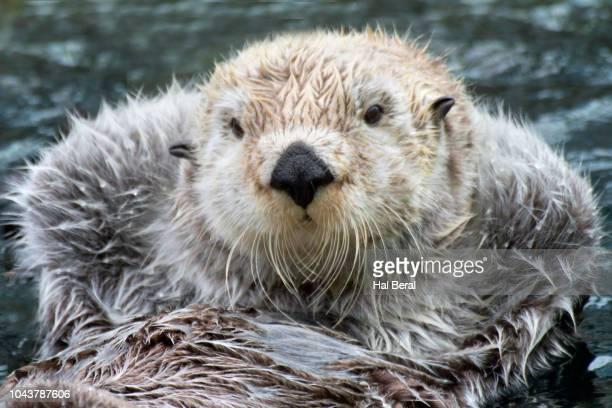 southern (california) sea otter close-up - sea otter - fotografias e filmes do acervo