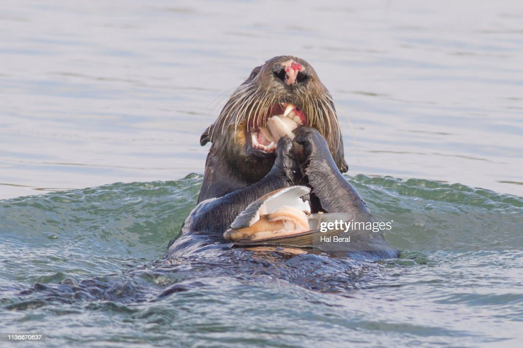 Southern (California) Sea Otter eating a clam close-up : Foto de stock