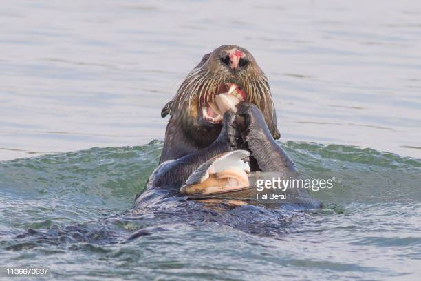 southern (california) sea otter eating a clam close-up - sea otter stock photos and pictures