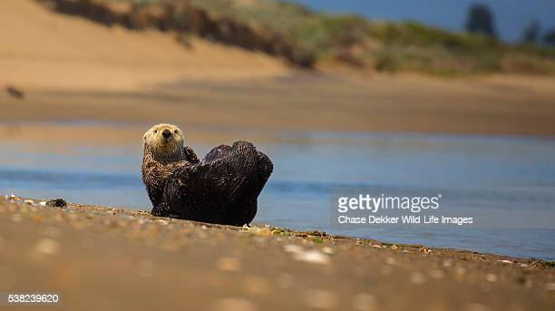 southern sea otter - sea otter stock photos and pictures