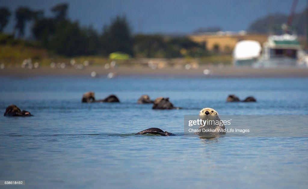 Southern Sea Otter : Foto de stock