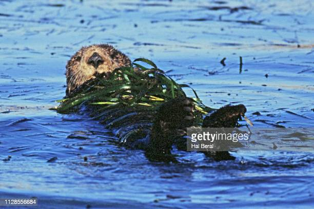 southern sea otter resting wrapped in kelp - 海苔 ストックフォトと画像