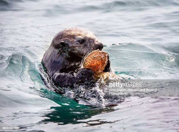 southern sea otter with shell in monterey bay - sea otter stock photos and pictures