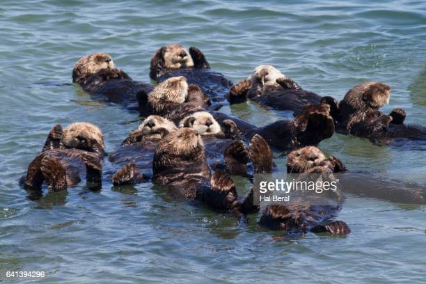 southern sea otters floating - sea otter stock photos and pictures
