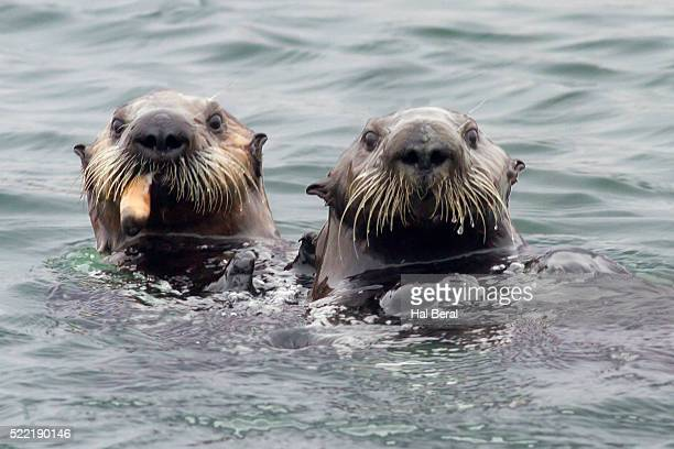 southern sea otters, one eating - sea otter stock photos and pictures