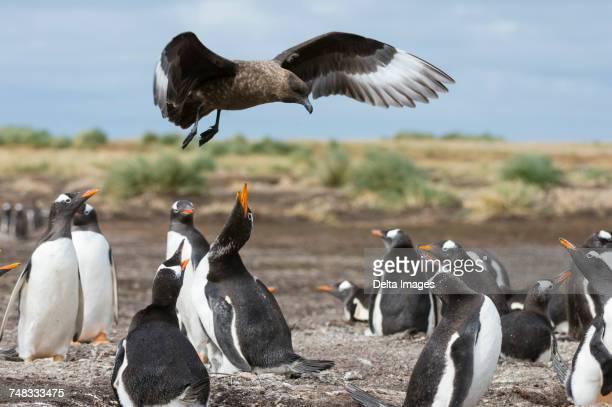 a southern skua (catharacta antarctica), attacking a gentoo penguin colony (pygoscelis papua), port stanley, falkland islands, south america - falklandinseln stock-fotos und bilder