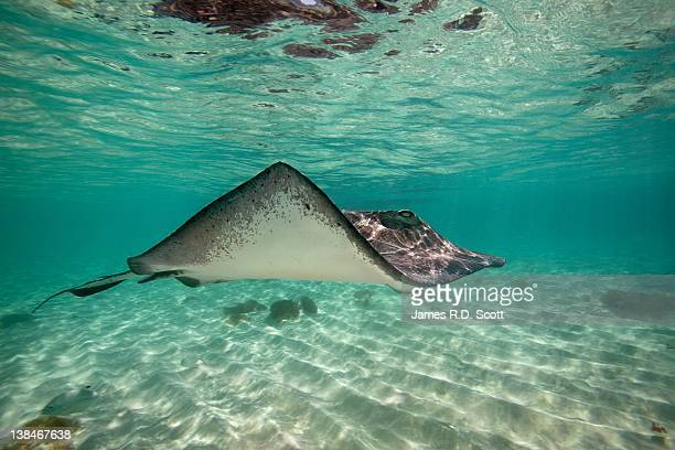 southern stingray - stingray stock photos and pictures
