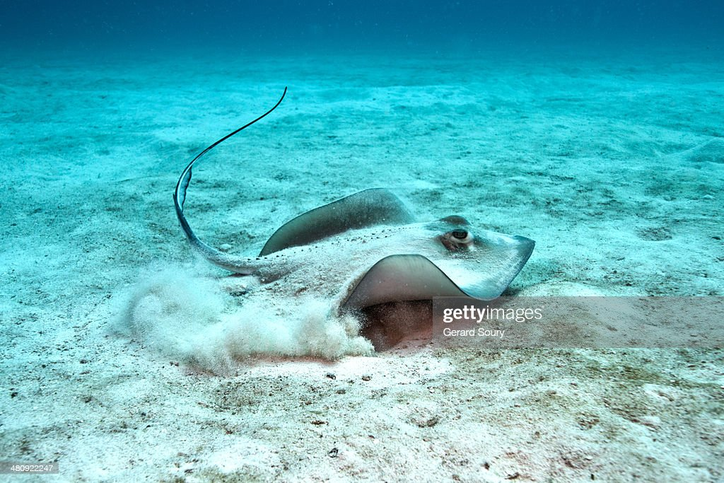 Southern Stingray taking off from the sand : Stock Photo