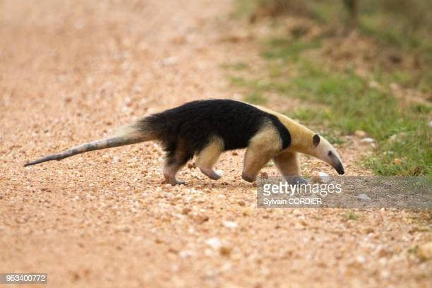 Southern Tamandua or Collared Anteater or Lesser Anteater on October 11, 2011 in Mato Grosso area, Pantanal state, Brazil.