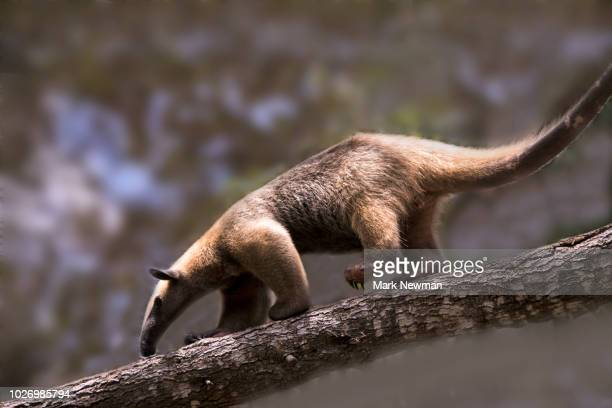 southern tamandua - anteater stock pictures, royalty-free photos & images