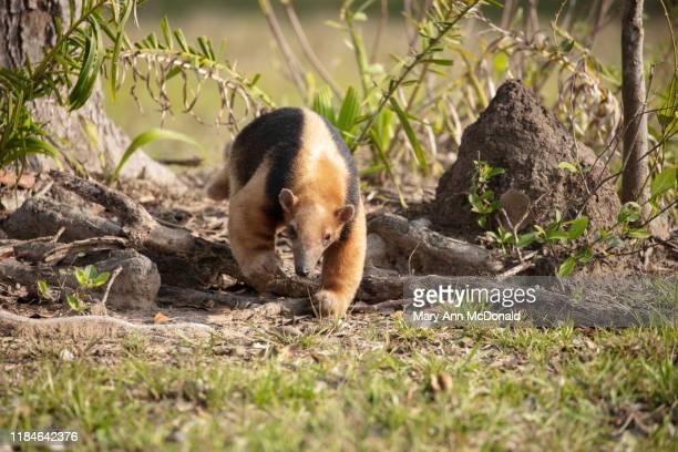 southern tamandua - tamandua anteater stock pictures, royalty-free photos & images