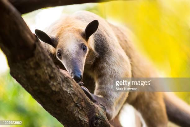 southern tamandua - コアリクイ ストックフォトと画像