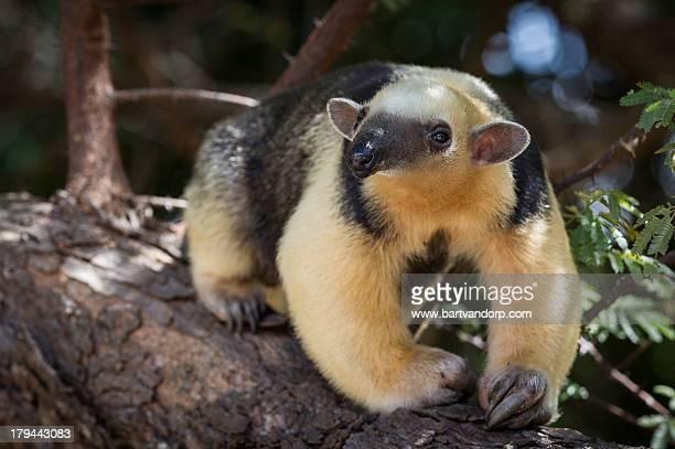 southern tamandua - anteater imagens e fotografias de stock