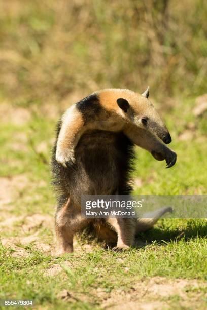 southern tamandua, - tamandua anteater stock pictures, royalty-free photos & images