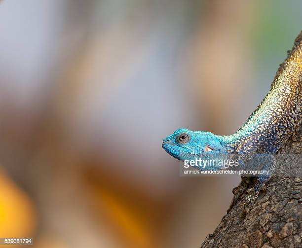 Southern tree agama.