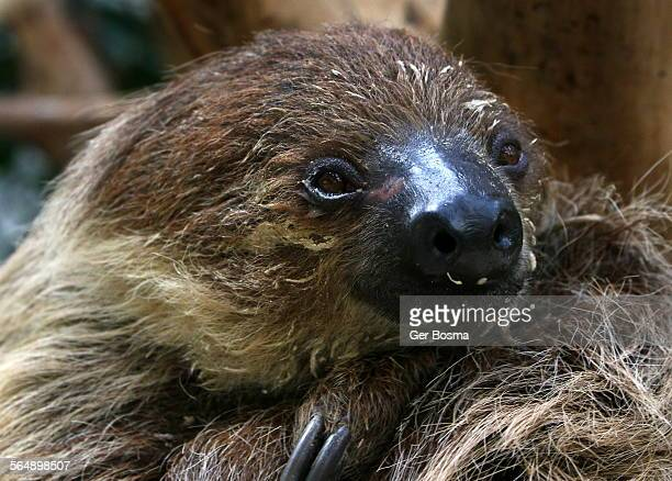 Southern two toed sloth portrait