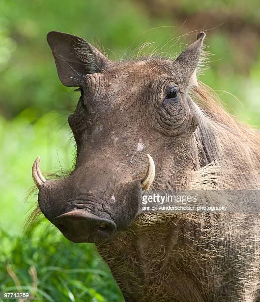 southern warthog   - facocero foto e immagini stock