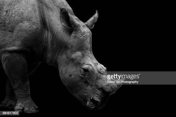 Southern White Rhinoceros Portrait Monochrome