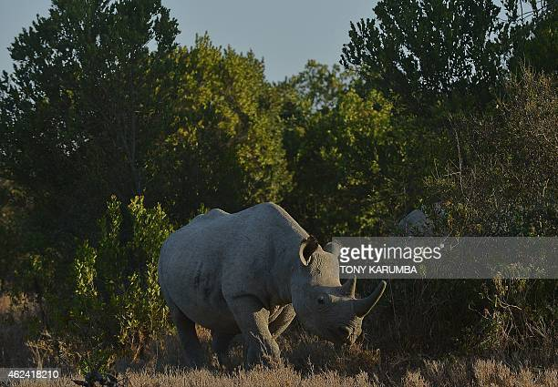 Southern white rhinoceros walks through the bushes at Ol Pejeta Conservancy some 290 kms north of the Kenyan capital Nairobi on January 28 2015...