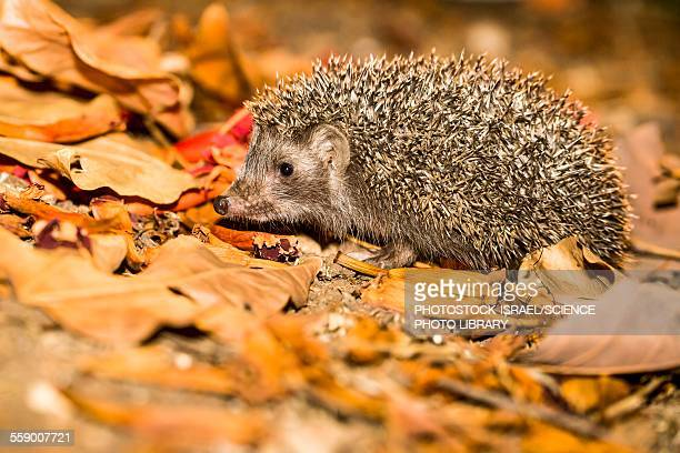 southern white-breasted hedgehog - photostock stock pictures, royalty-free photos & images