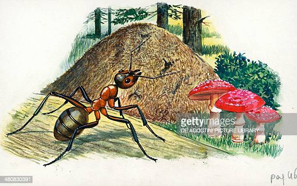 Southern wood ant or horse ant illustration