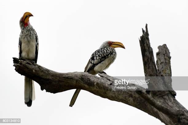 Southern yellowbilled hornbill Kruger National Park on April 16 2017 in South Africa