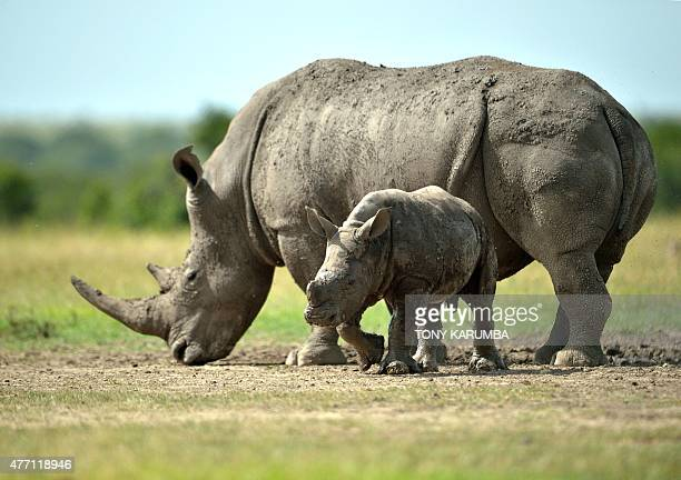 A southernwhite female rhino with her calf roam the olPejeta conservancy on June 14 2015 situated at the foot of Mt Kenya approximately 300...