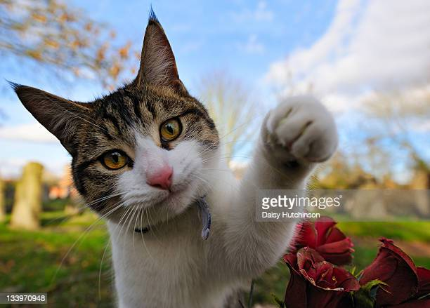 southpaw - tabby stock pictures, royalty-free photos & images