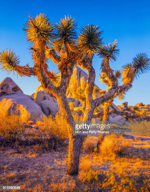 southwest desert usa  at joshua tree national park, ca (p) - joshua tree stock photos and pictures