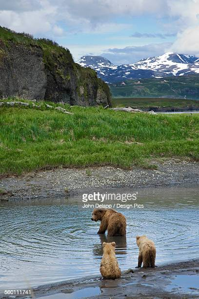 A Sow Brown Bear Looks For Fish While Her Two Cubs Wait On The Bank Of Mikfik Creek At Mcneil River State Game Sanctuary In Southwest Alaska During Summer
