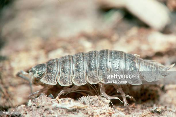 sow bug crawling - potato bug stock pictures, royalty-free photos & images