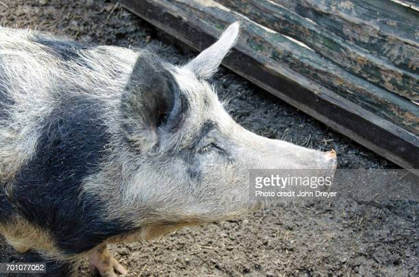 sow portait - 雌豚 ストックフォトと画像
