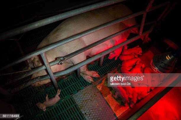 Sow with her piglets in a farrowing crate, Germany