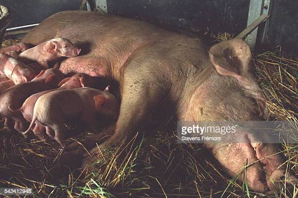 Sows have litters that comprise between 8 and 15 piglets
