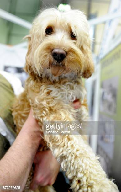 Sox a Cockapoo attends the National Pet Show at The NEC Arena on November 4 2017 in Birmingham England