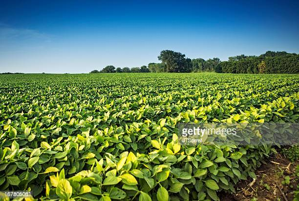 soy bean crops - soybean stock pictures, royalty-free photos & images