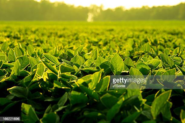 soy leaves at sunset - soybean stock pictures, royalty-free photos & images