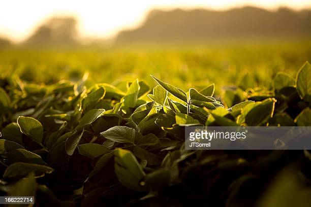 Foglie di soia in luce solare