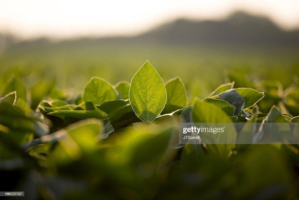 Foglie di soia : Foto stock