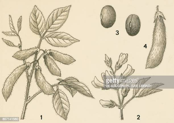 1 branch with fruit 2 flowers 3 seeds 4 fruits drawing